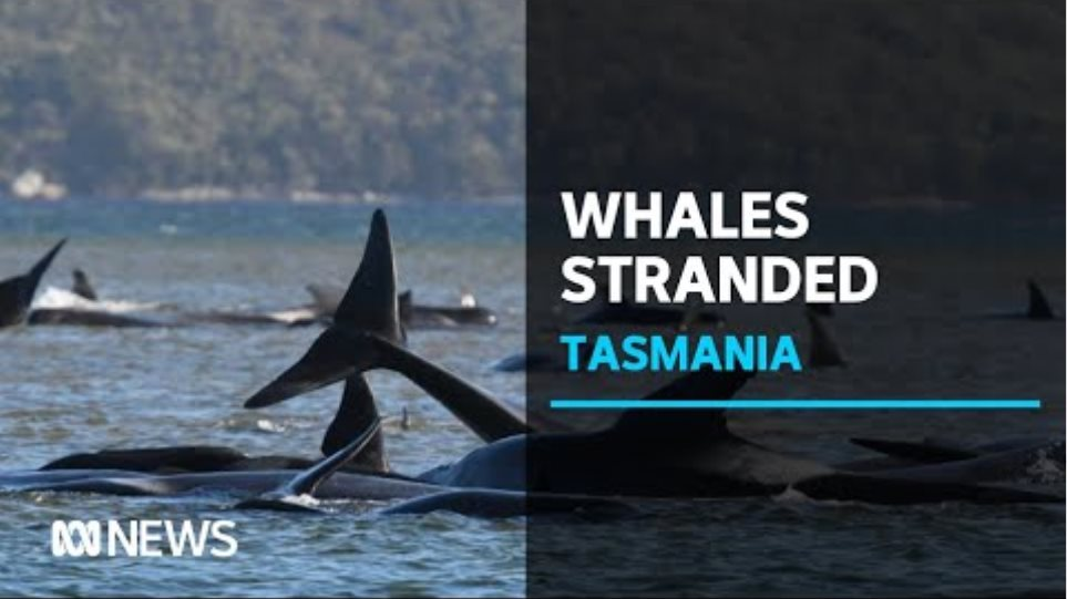 Massive rescue operation to try and save 270 whales stranded on Tasmania's West Coast | ABC News